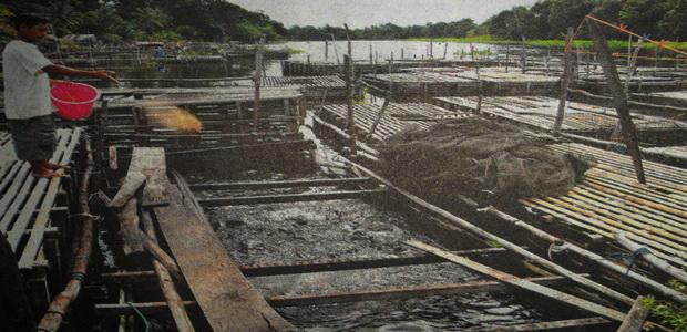 Rencana Pemkot Budidaya Ikan Belida